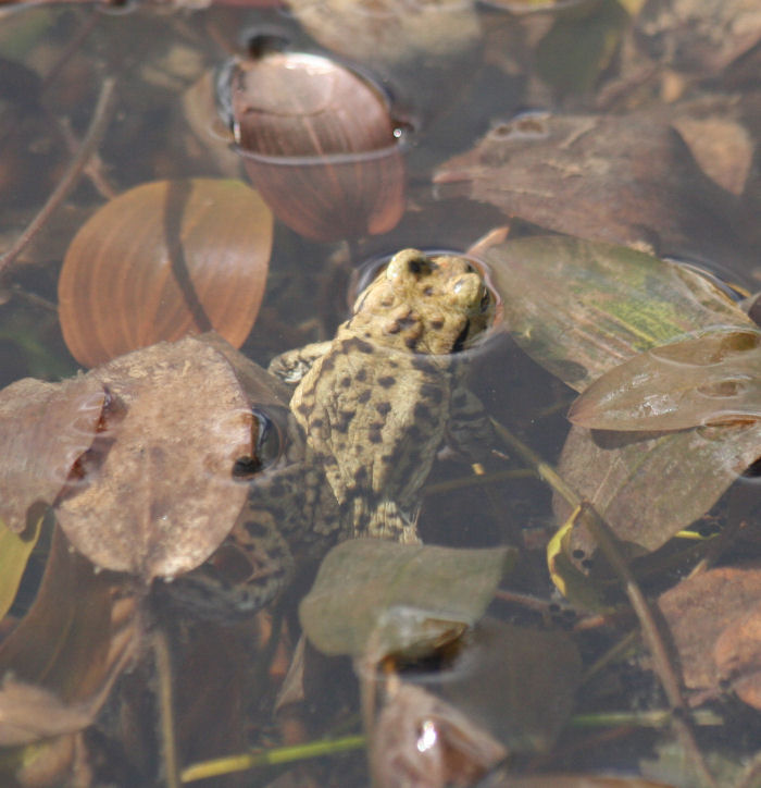 Toad in the pond