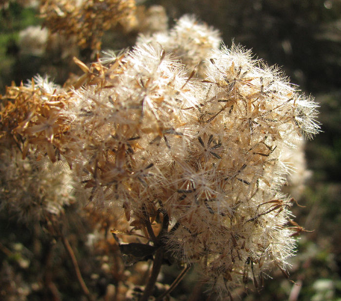 Hemp Agrimony seed head