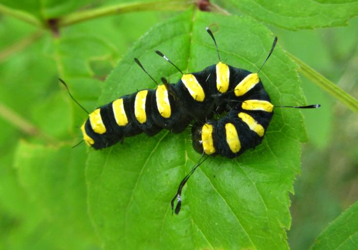 Alder Moth caterpillar