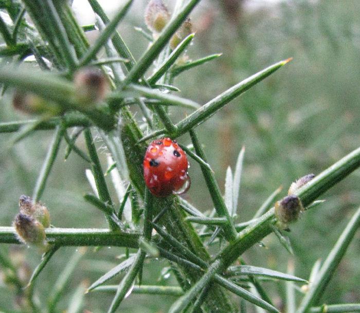 Ladybird in Gorse