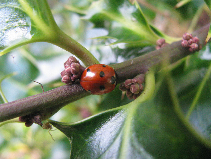 Ladybird in Holly