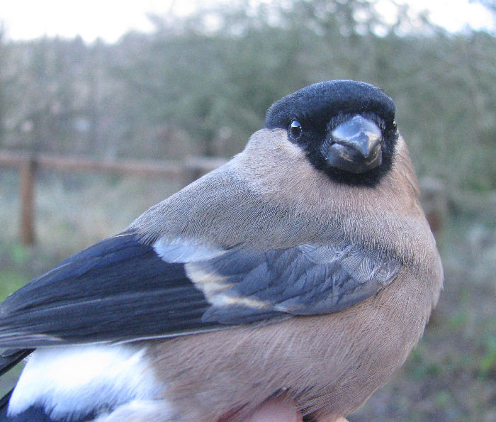Femal Bullfinch