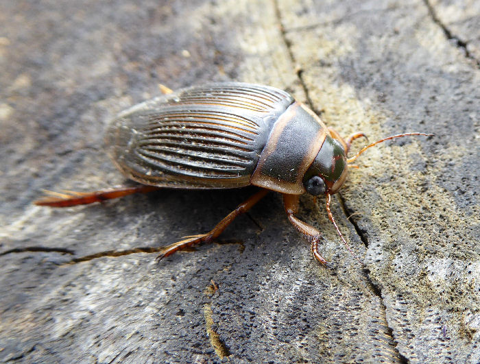 Great Diving Beetle female
