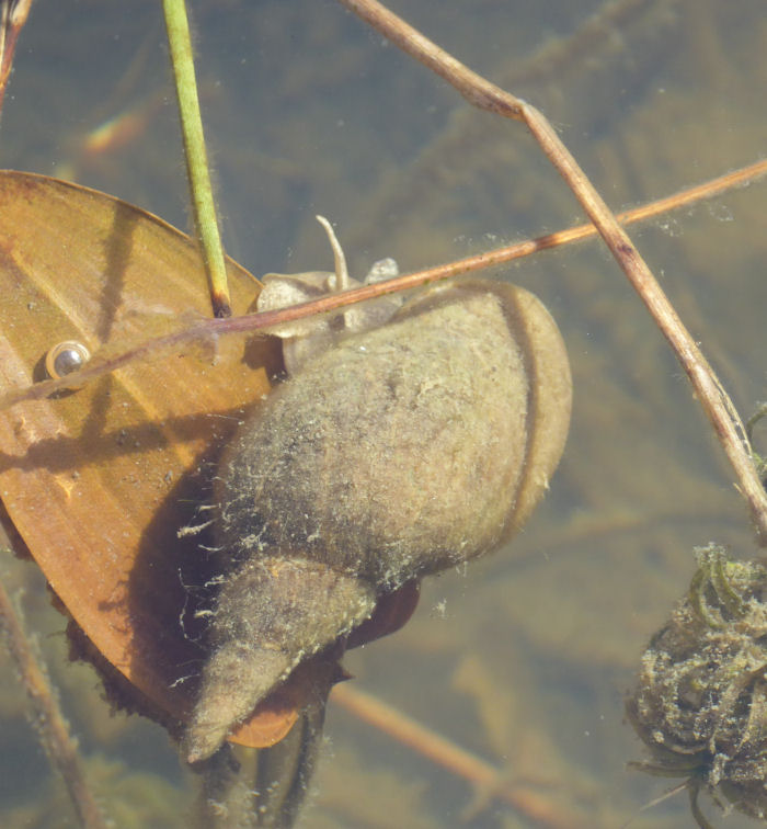 Greater Pond Snail