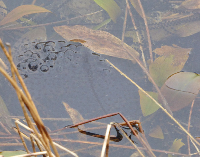 Toad and frogspawn