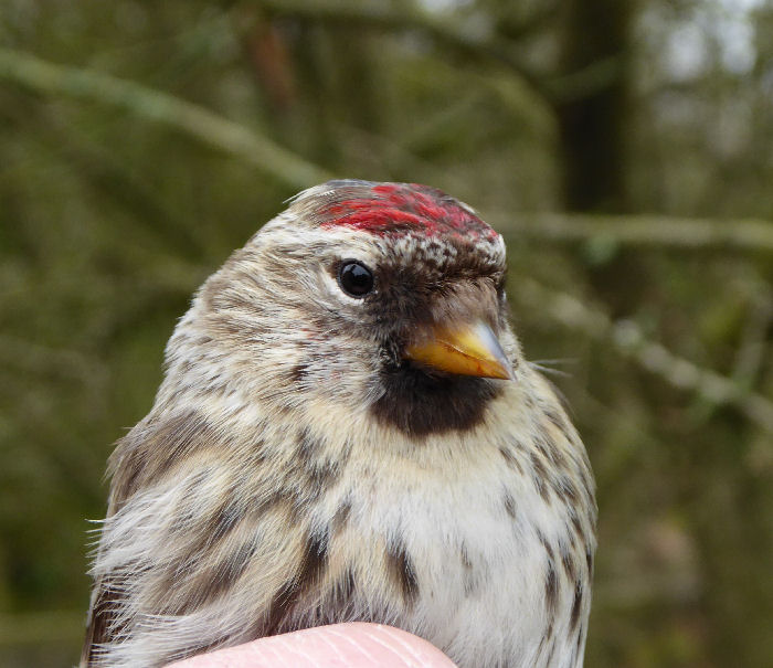 Mealy (Common) Redpoll