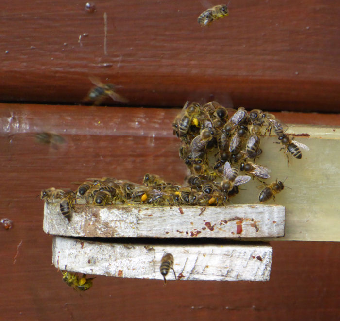 Hive bees returning to their hive with pollen