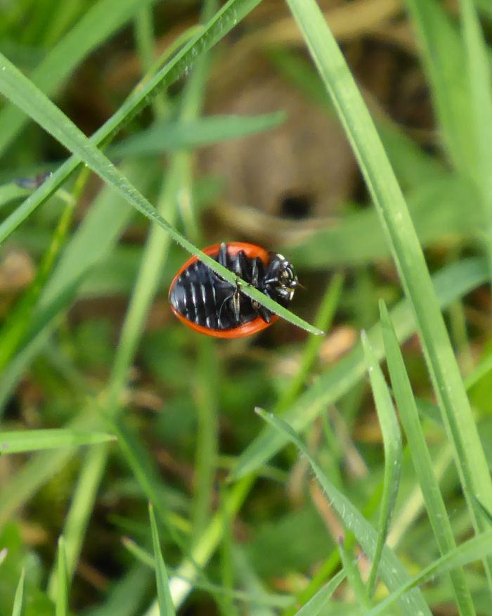 Underside of 7 Spot Ladybird