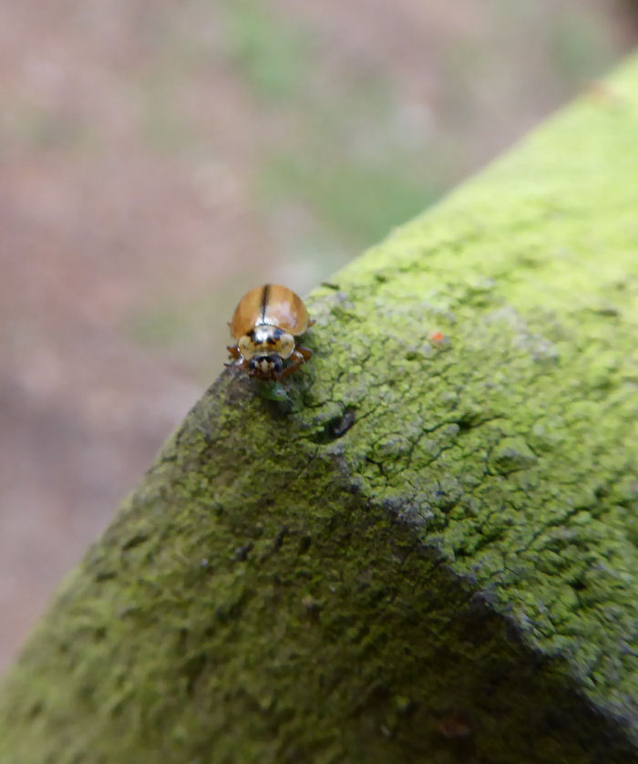 Larch Ladybird eating a greenfly