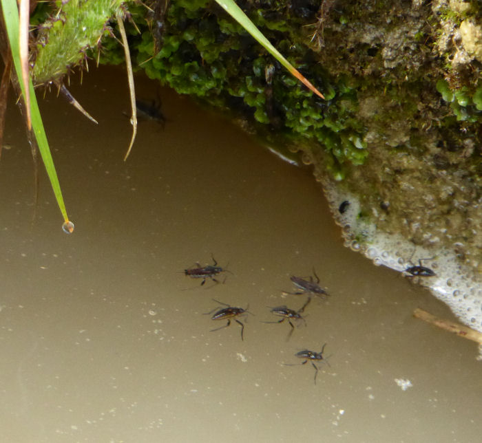 Water Crickets