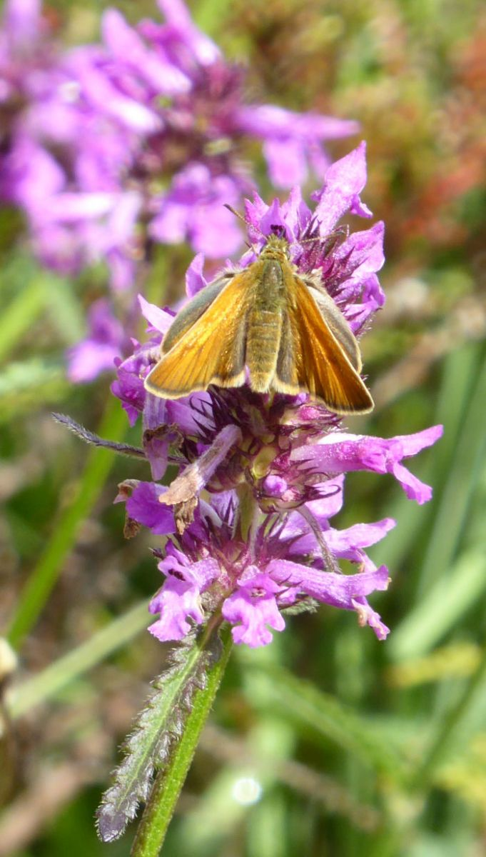 Small Skipper on Betony