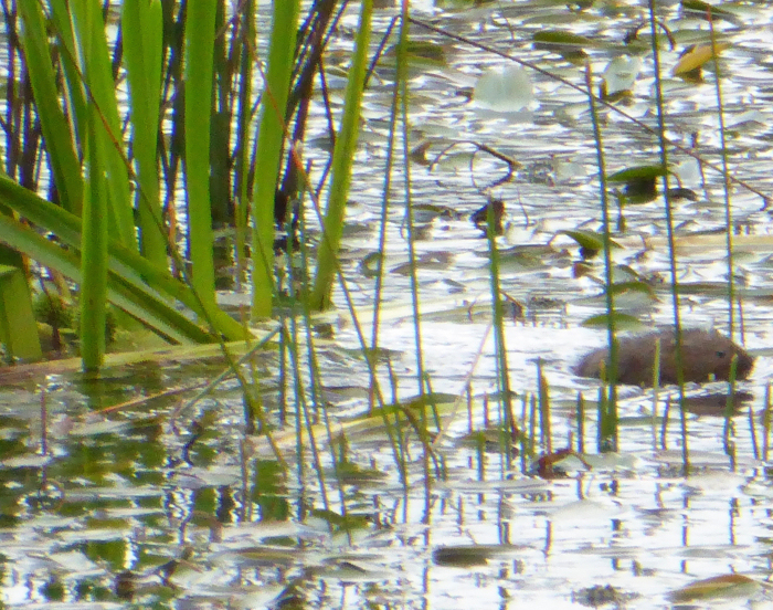 Water Vole heading off