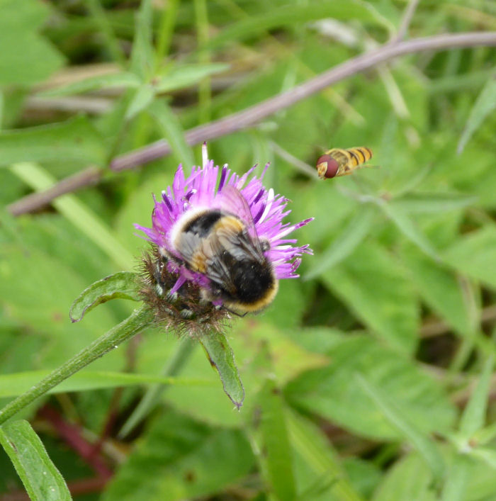 Bee and Hoverfly on a Hardhead