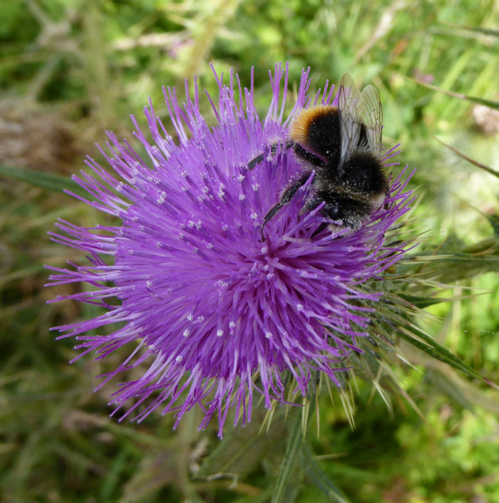 Bee on Spear Thistle