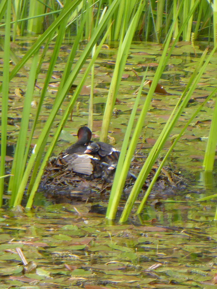 Little Grebe and young
