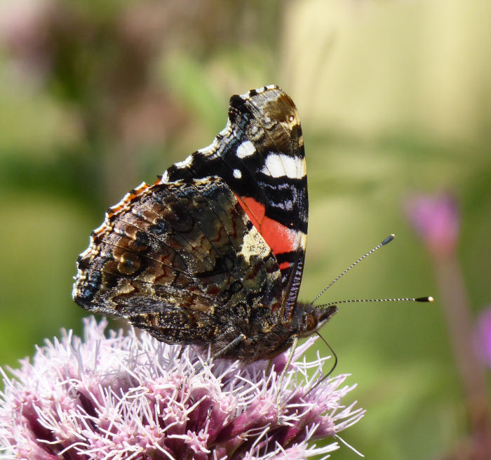 Underwing of Red Admiral