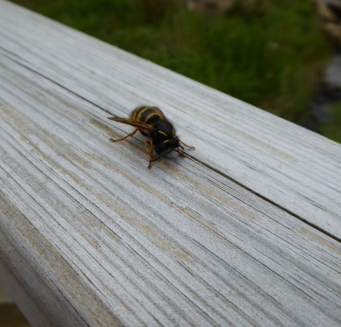 Wasp collecting wood