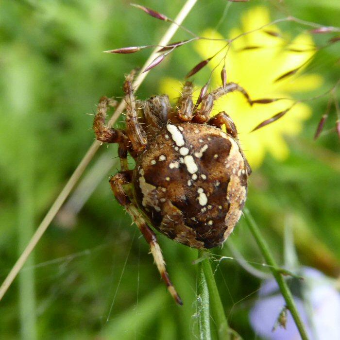 Garden Cross Spider