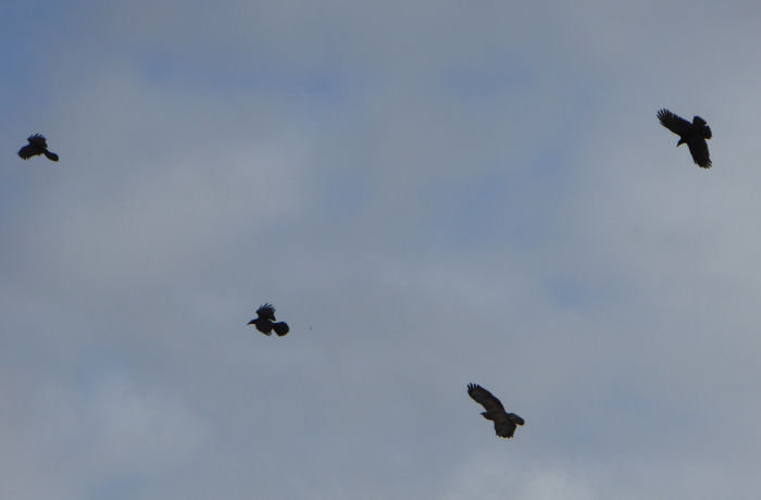 Buzzard and corvids