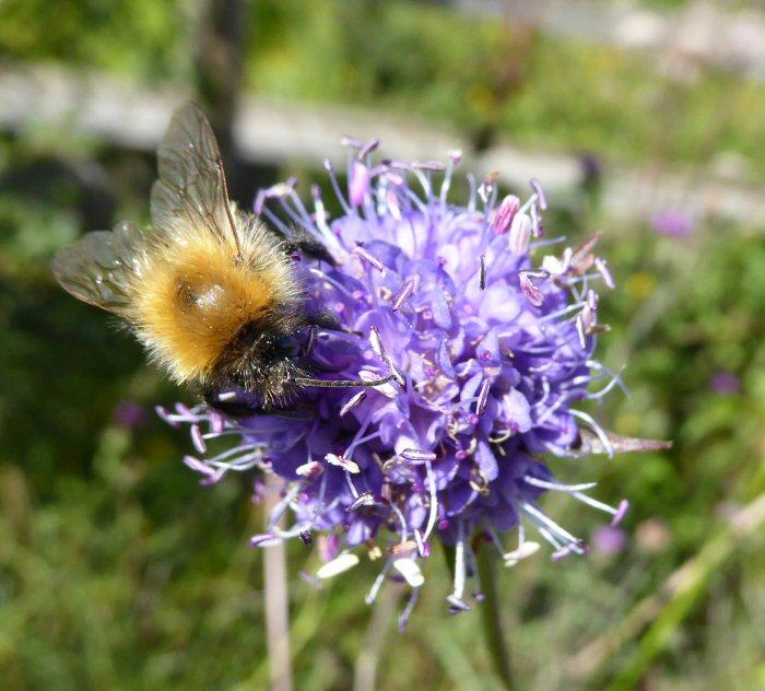 Bee on Devil's Bit Scabious