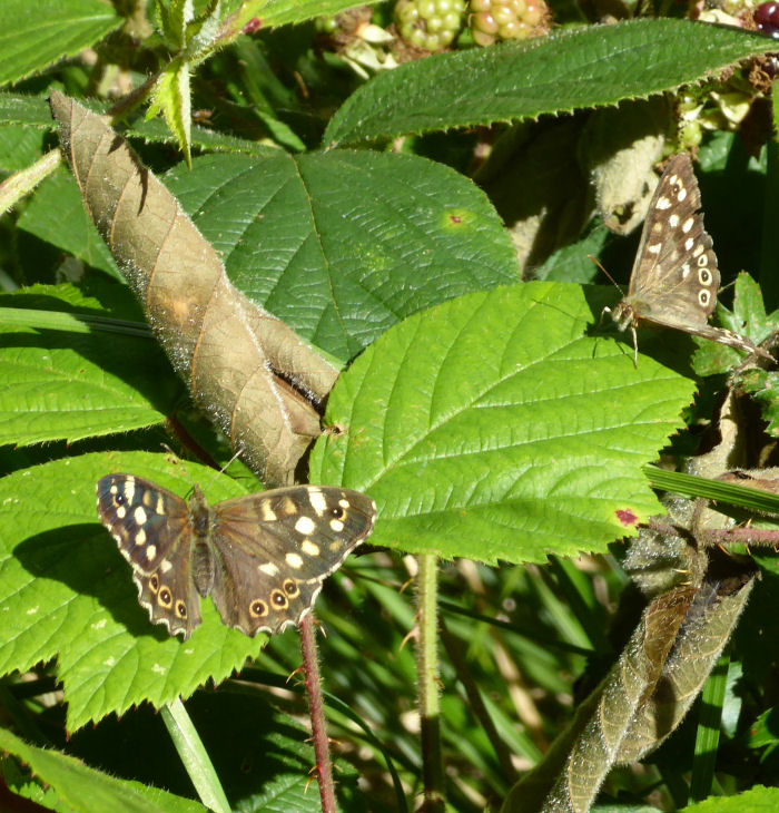 Speckled Wood Butterflies