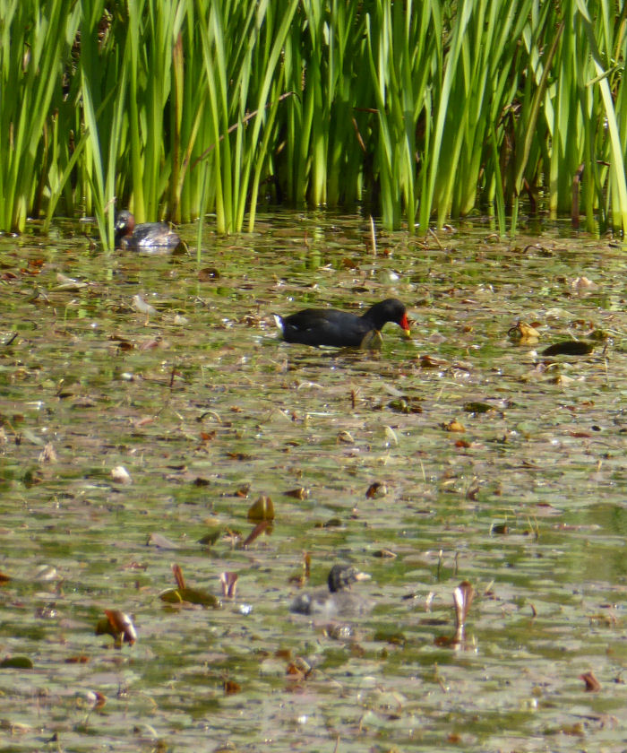 Moorhen and Little Grebes