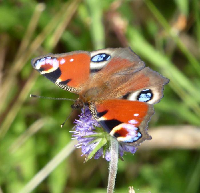 Peacock Butterfly on Devil's Bit Scaboius