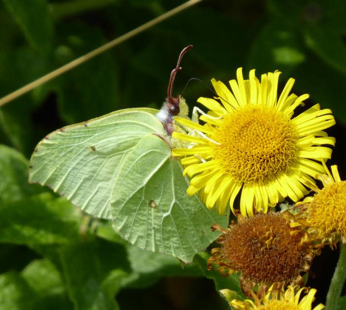 Brimstone Butterfly on Fleabane