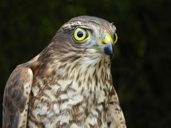 Juvenile male Sparrowhawk