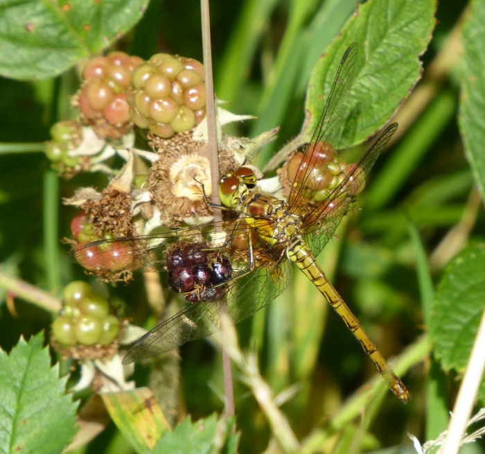 Common Darter on vegetation