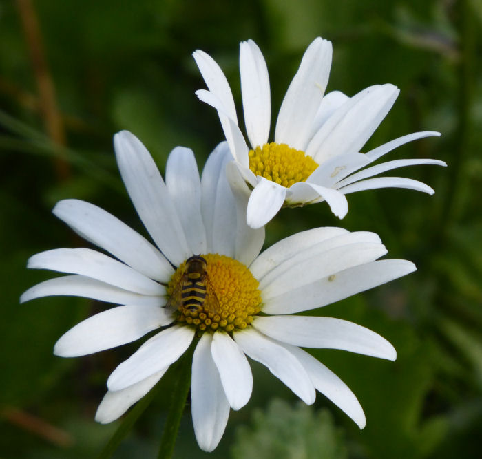 Dog Daisy and hoverfly