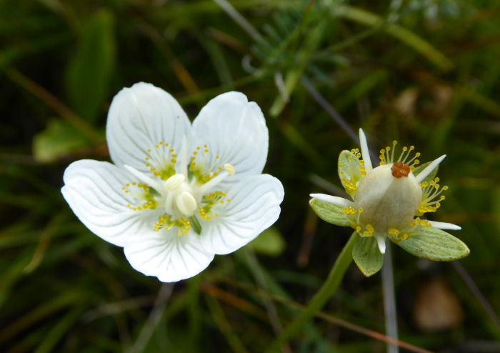 Grass of Parnassus flower and seed head