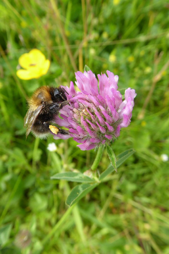 Bee with pollen scas on Red clover