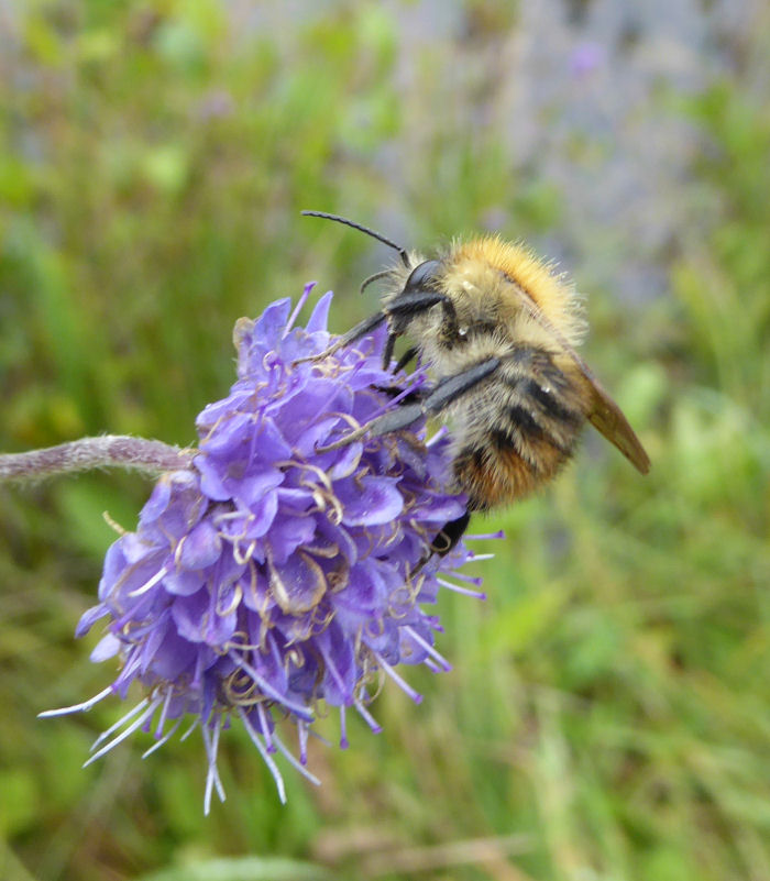 Devil's Bit Scabious and bee