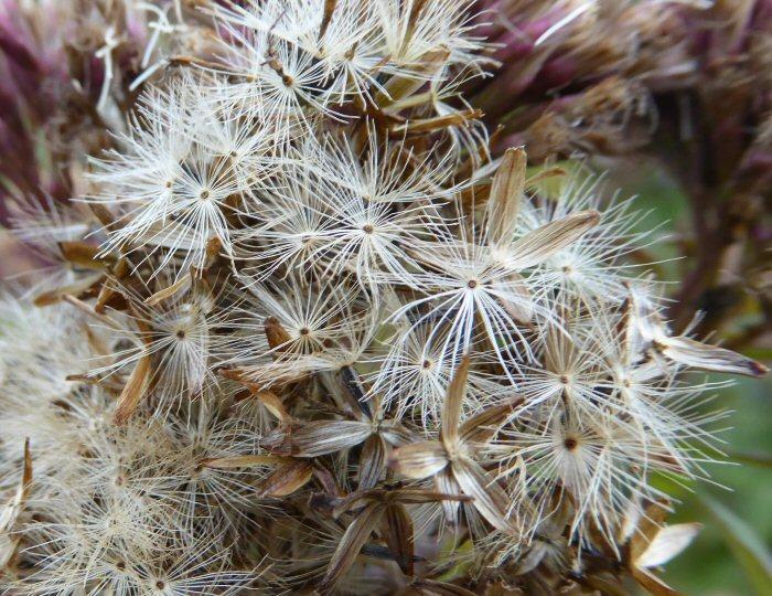 Hemp Agrimony Seed Head