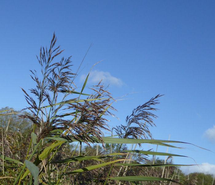 Reedsa against the sky