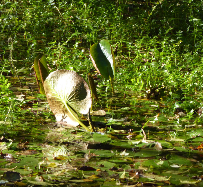 Water Lily leaf?