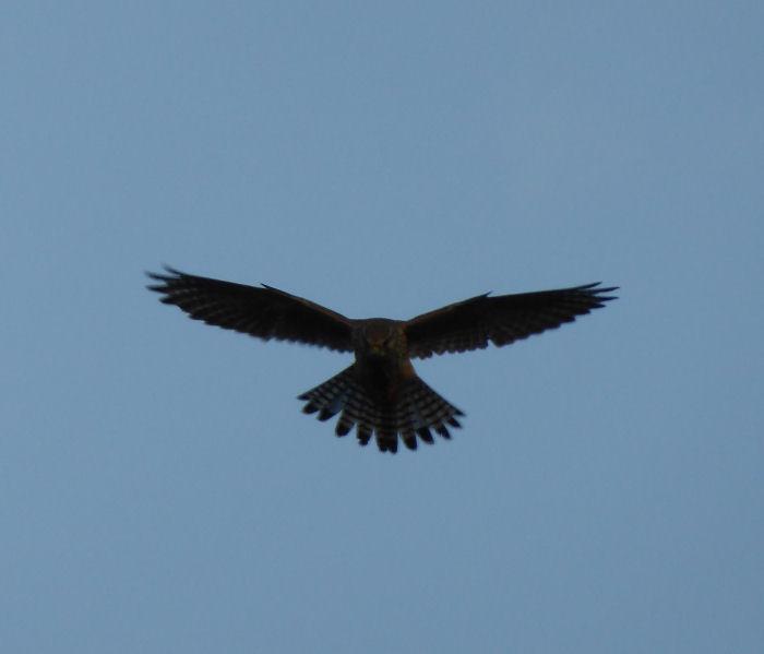Kestrel hunting over the heath