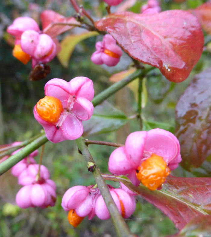 Spindle fruits and seeds