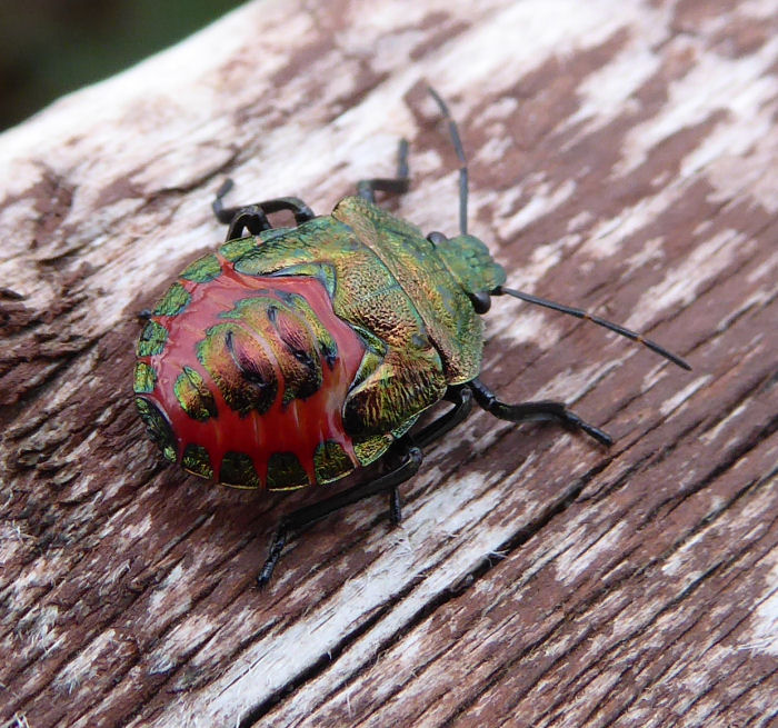 Fantastically coloured shield bug