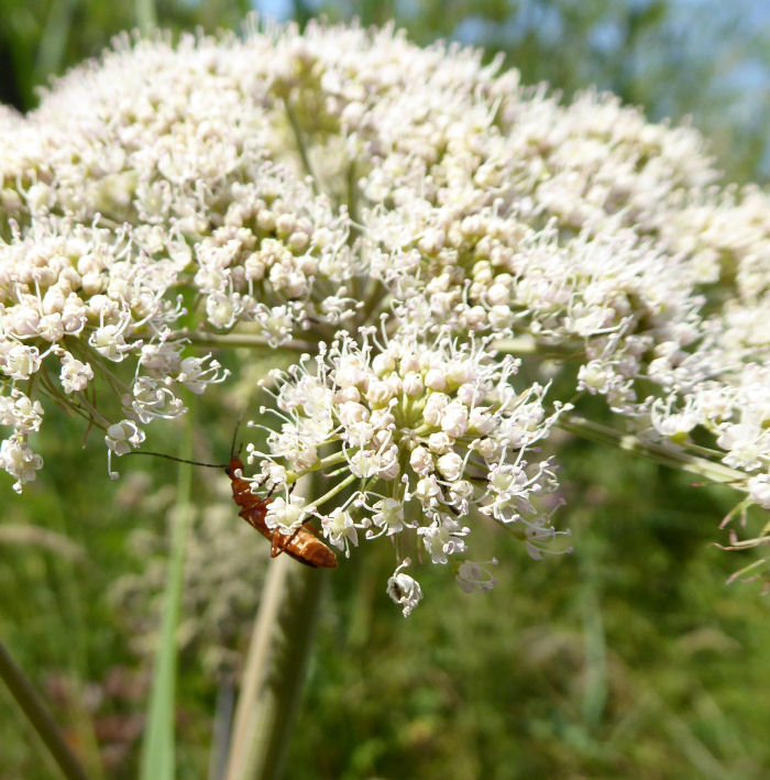 Angelica with Soldier Beetle