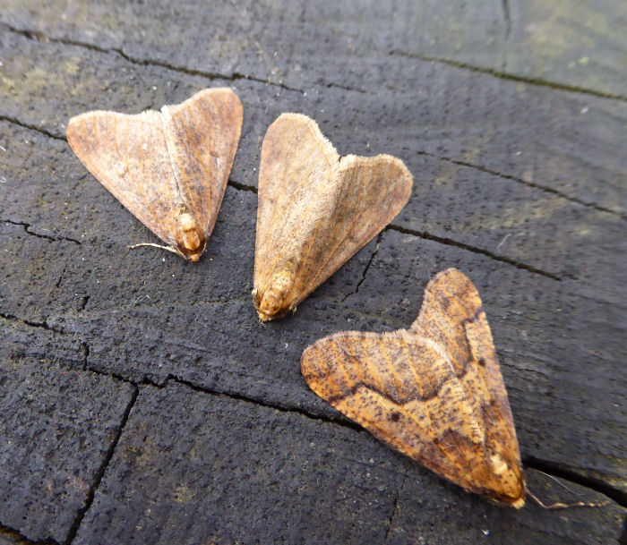 Mottled Umber Moths