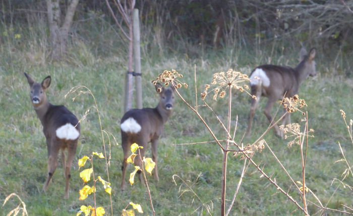 Roe Deer and kids