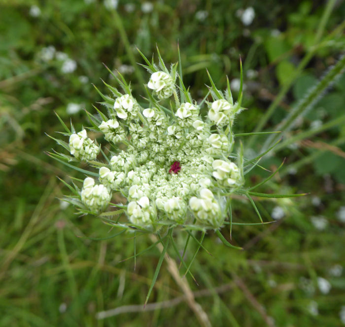 Red center in the Wild Carrot