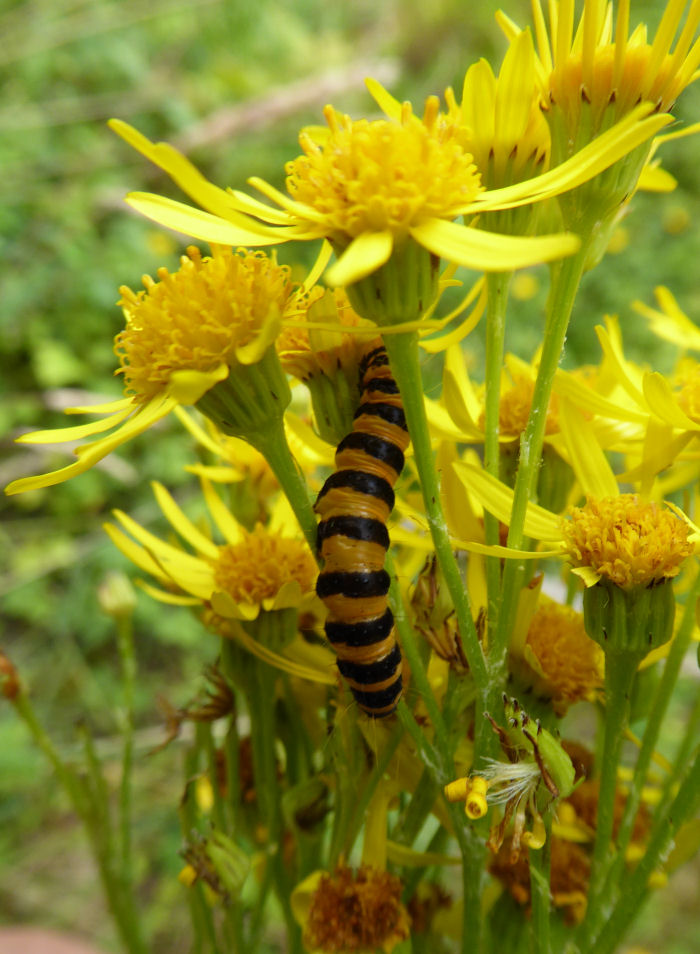 Cinnabar moth caterpillar on Common Ragwort