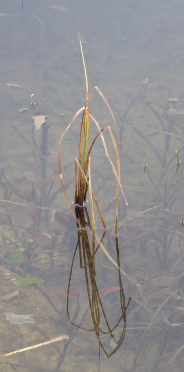 Cotton Grass in winter
