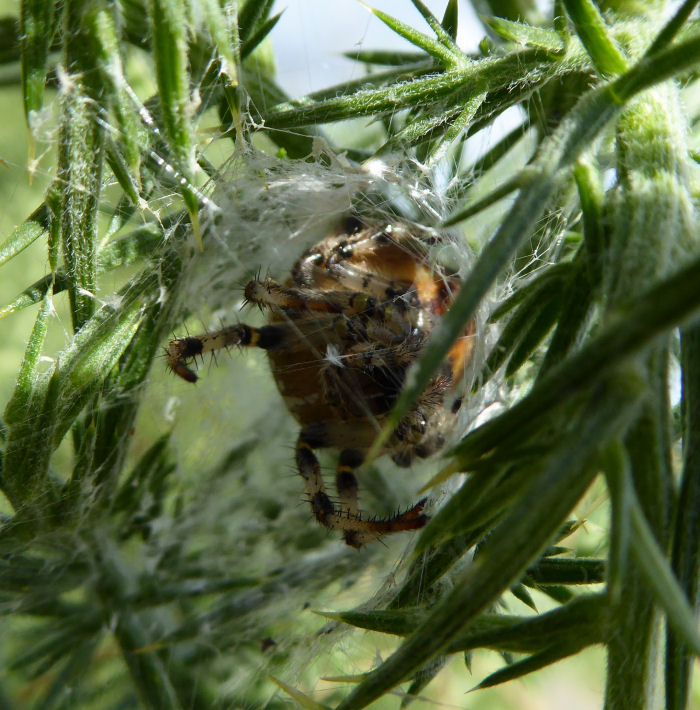 Orb web spider in a nest