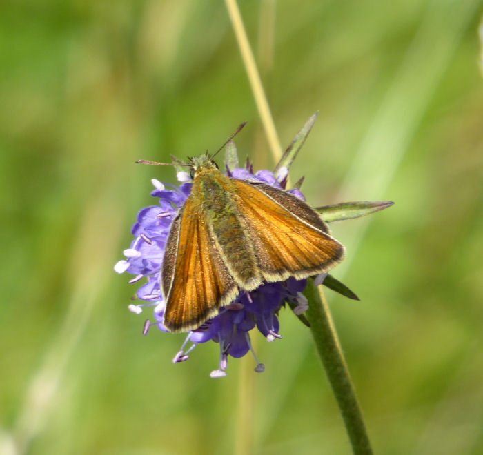 Small Skipper on Devil's Bit Scabious