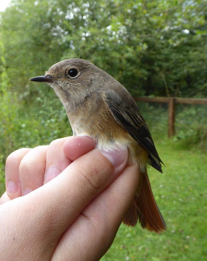 juvenile Redstart