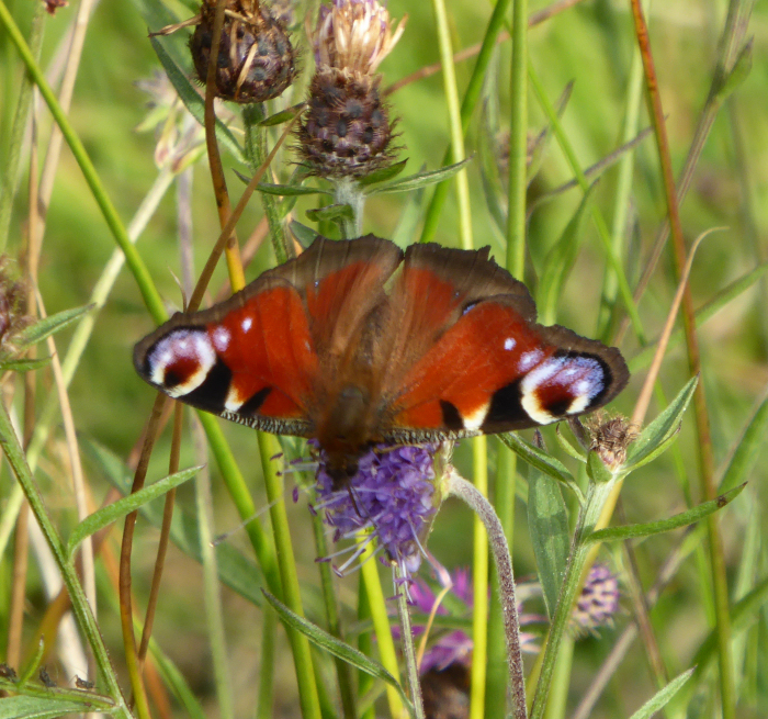 Peacock Butterfly on Devil's Bit Scabious